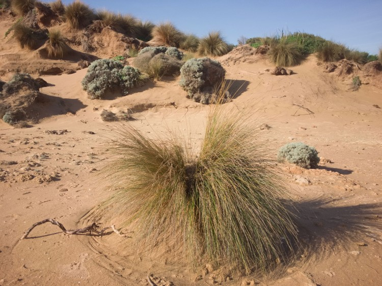 Tussock in Sand