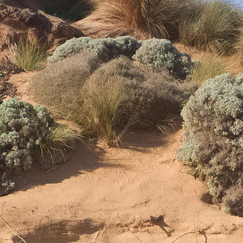 Tussock in Sand (crop)