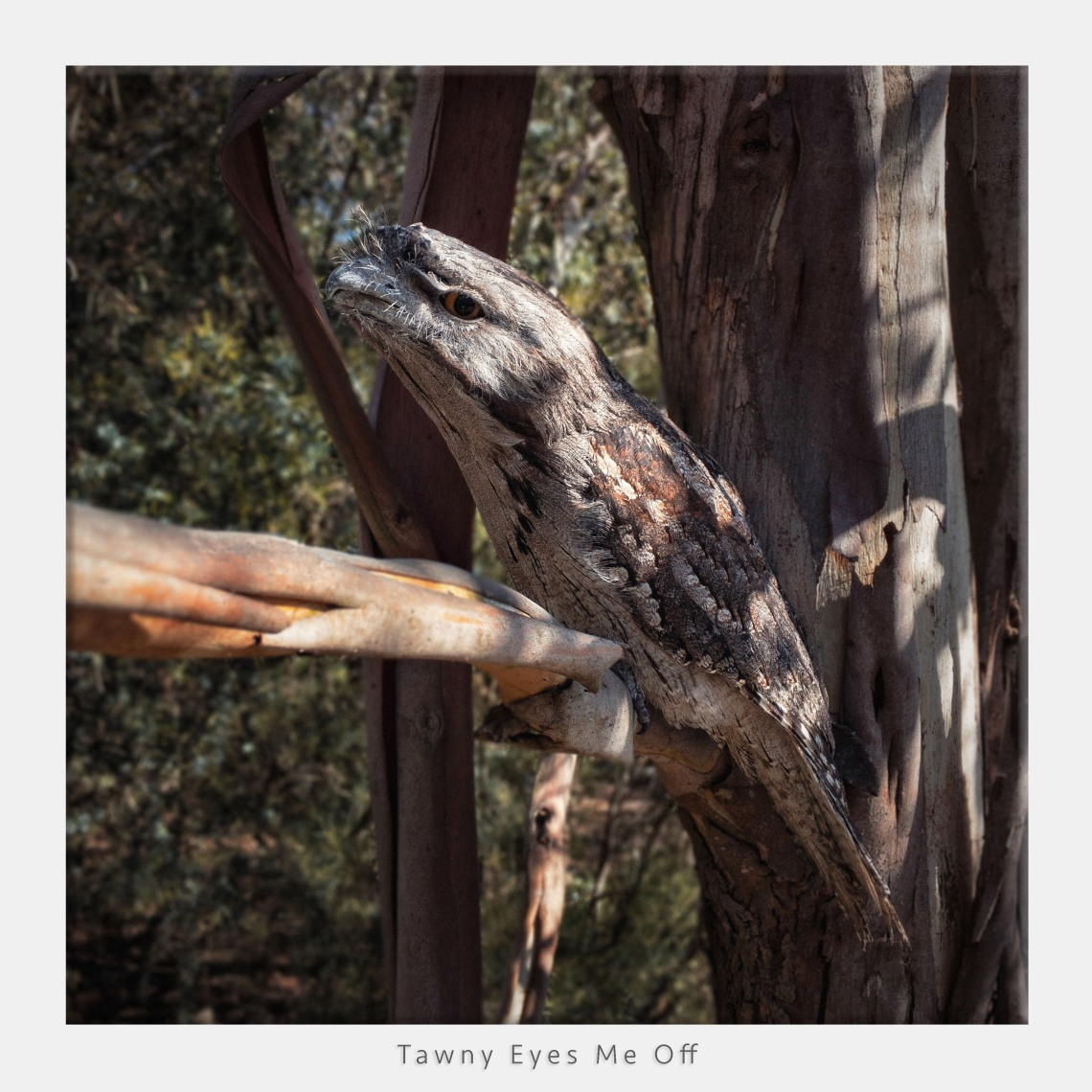 Tawny Frogmouth in gumtree taken with iPhone and depth of field simulated in post